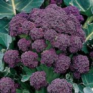 Broccoli Rudolph Extra Early - Appx 60 Seeds